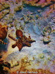 Sweet little Octopus, quite friendly... Bonaire. by Alison Ranheim